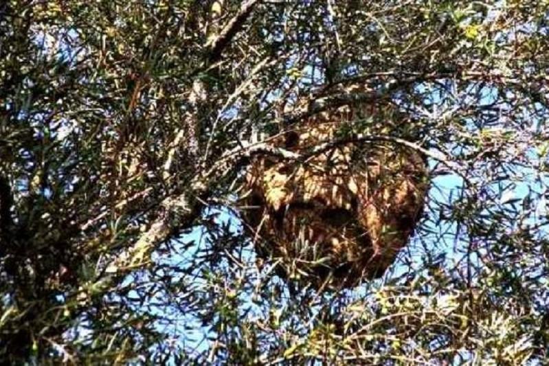 Serviços municipais de Cabeceiras de Basto destruíram 151 ninhos de vespa velutina