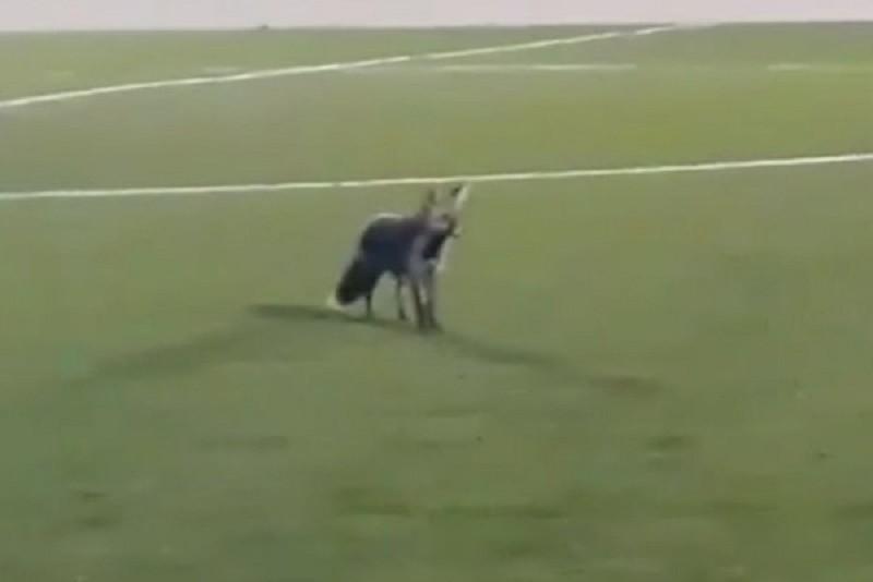 Raposa pode tornar-se mascote da equipa