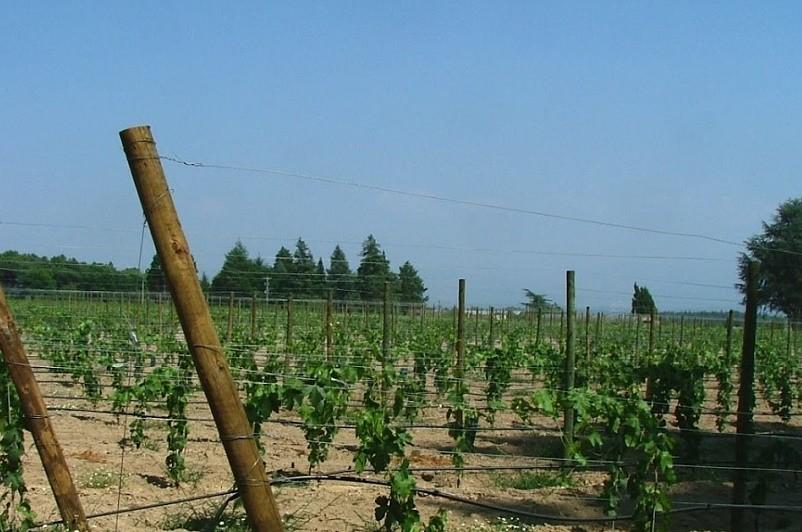 Investimento de 500 mil euros reestrutura 40 hectares de vinha em Monção e Melgaço