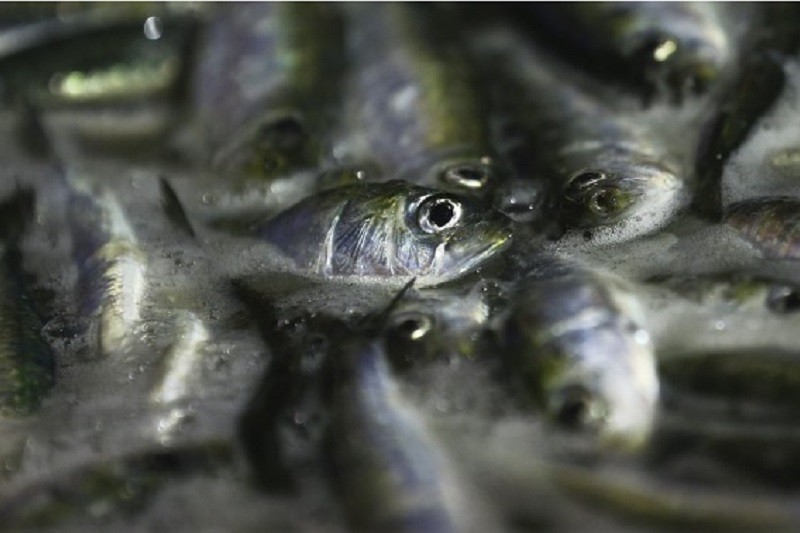 COVID-19: Pescadores do Norte preocupados com possível quebra na venda de sardinha no verão