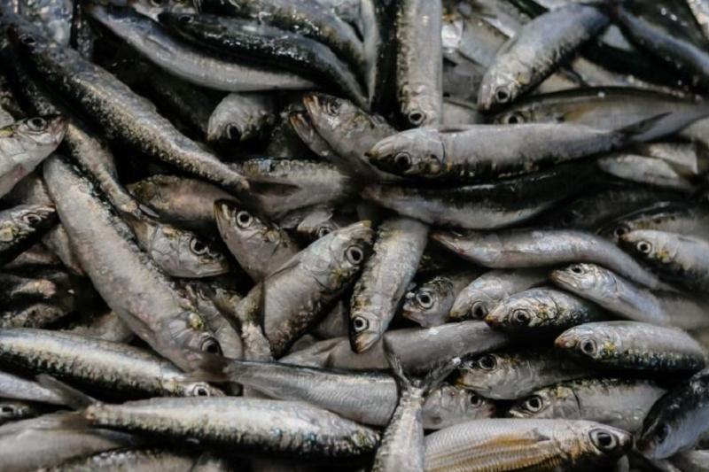 Pesca da sardinha reabre em 01 de junho por dois meses